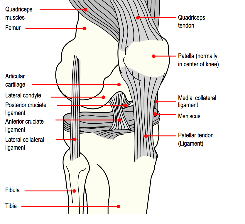 anatomy of the knee diagram